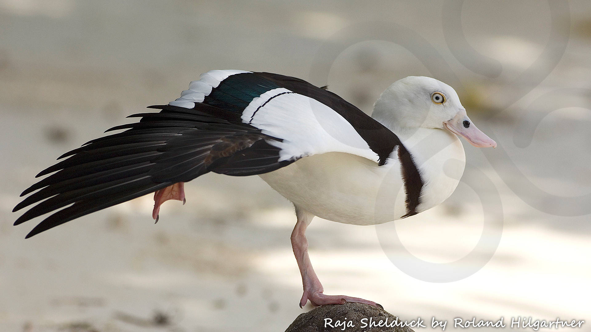 The Trans-Fly zone is a globally significant staging and wintering ground for waterfowl from Australia such as the Raja Shelduck Radjah radjah. Copyright © Roland Hilgartner