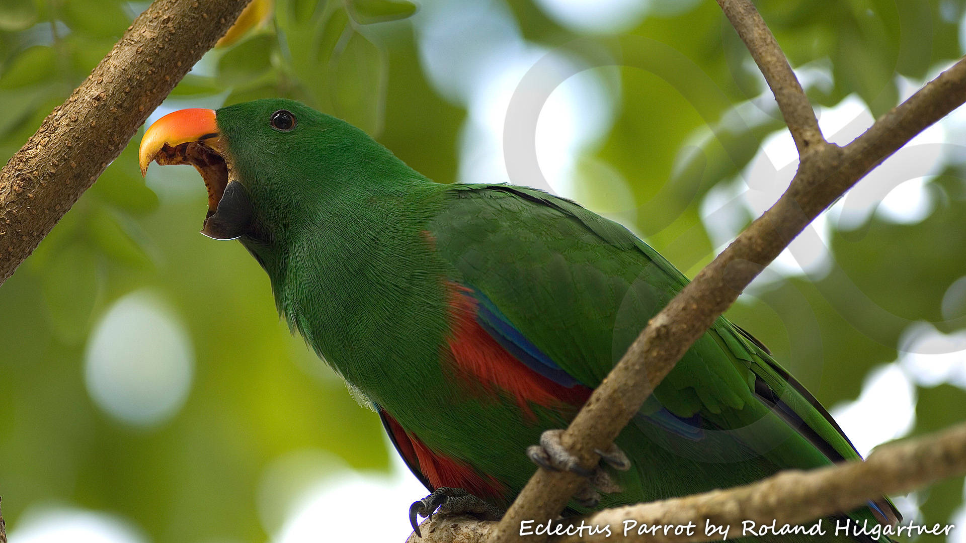 Eclectus Parrot Eclectus roratus is widely distributed throughout the lowland forests of the New Guinea region and beyond. Copyright © Roland Hilgartner