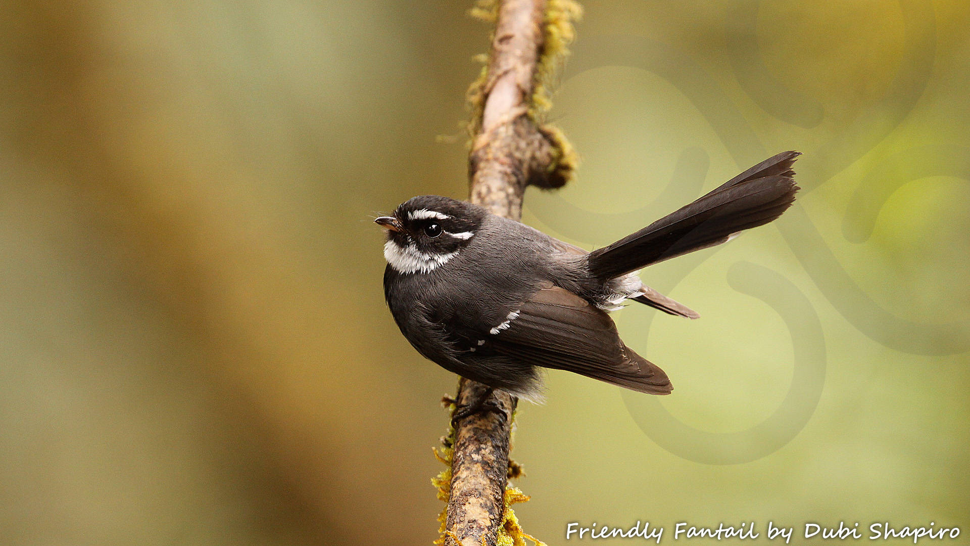 Friendly Fantail Rhipidura albolimbata occurs throughout the mountains of New Guinea. Copyright © Dubi Shapiro