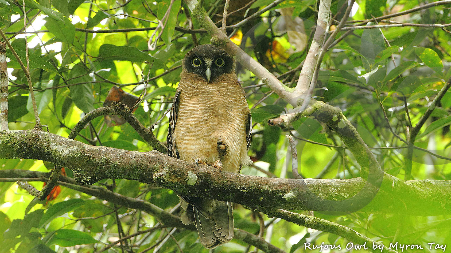 New Guinea's biggest yet most difficult owl to find, the Rufous Owl Ninox rufa, could be one of the highlights around our secluded Muaib jungle camp near Sentani. Copyright © Myron Tay