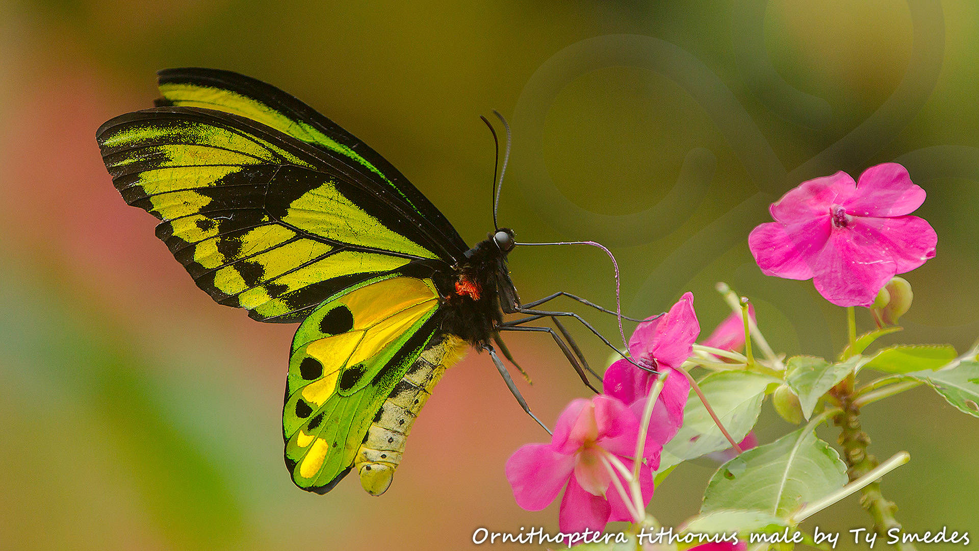 The gorgeous male Ornithoptera tithonus is one of three species of birdwing butterfly that can be seen on a stroll through the well-flowered garden around our partnering community-owned guest house in the Arfak Mountains. Copyright © Ty Smedes