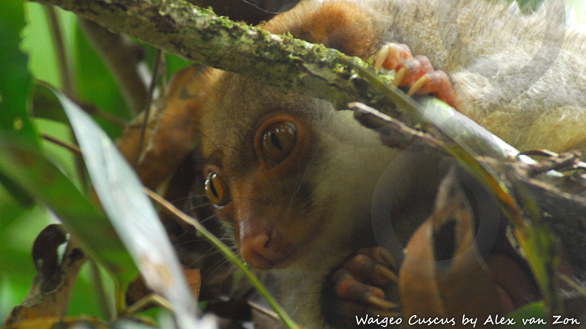 Getting up-close and personal with the endemic and endangered marsupial Waigeo Cuscus Spilocuscus papuensis could be one of the highlights of an outdoors adventure to the largest Raja Ampat island of Waigeo. Copyright © Alex van Zon